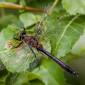 Downy Emerald, male - Guldtrollslända, hanne