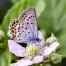 Idas Blue, male - Hedblåvinge, hanne