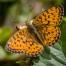 Lesser Marbled Fritillary - Älggräspärlemorfjäril