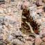 Map Butterfly - Kartfjäril
