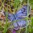 Large Blue - Svartfläckig blåvinge