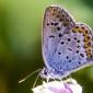 Silver-studded Blue - Ljungblåvinge