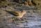 Common Sandpiper - Drillsnäppa