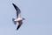 Caspian Tern - Skräntärna