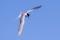 Common Tern - FisktärnaAI-clear