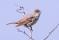 Barred Warbler - Höksångare