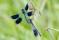 Banded Demoiselle - Blåbandad jungfruslända