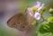 Ringlet - Luktgräsfjäril