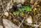 Green Tiger Beetle - Grön Sandjägare