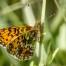 Small Pearl-bordered Fritillary - Brunfläckig pärlemorfjäril