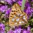Queen of Spain fritillary - Storfläckig pärlemorfjäril