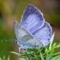 Holly Blue, female - Tosteblåvinge, hona