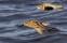 Curlew Sandpiper - Spovsnäppaar