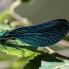 Beautiful Demoiselle male - Blå jungfruslända hanne