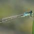 Scarce Blue-tailed Damselfly - Mindre kustflickslända