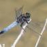 Black-tailed Skimmer male - Större sjötrollslända hanne