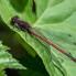 Large Red Damselfly- Röd flickslända