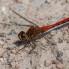 Ruddy Darter, male - Blodröd ängstrollslända, hanne