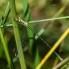 Small Spreadwing - Mindre smaragdflickslända