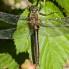 Downy Emerald, female - Guldtrollslända, hona