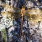 Brown Hawker - Brun mosaikslända