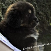 2 months old at kennel Woollinoze