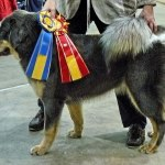 Aquila BOB puppy Tibet Dog Show