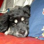 Nanook head on pillow