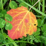 Ett rött blad på marken