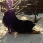 Chiva in low sun P1000721