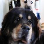 A new friend - Masi the Norwegian Bu-hund. Annoying but cute