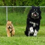 Disa runs with Helena (born at kennel Chenporewa)