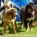Dogshow P1230511