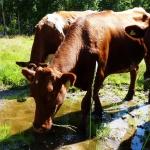 1 Disas cows P1240339