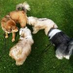 Disa and tib terriers P1260807