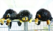 Global Times - Last stand of the Tibetan Mastiff 2012 10 21