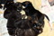 Bod Khyi Sierras Tsho 15 days old IMG_7726