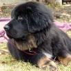 Bod Khyi Sierras Tsho Kieron 4 months 1 week  P1540574