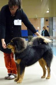 9,5 mån tar Humla sitt första Cert på Tibethundsutställnngen