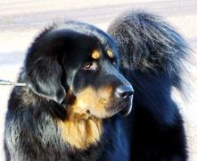 Bod Khyi Sierras Tsho Koori 1 year old
