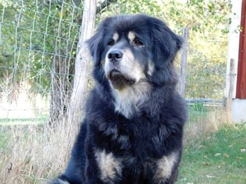 Bod Khyi Dom Ursa 7 years and 9 months old. Thanks to Klastorpets kennel for letting me use this picture.