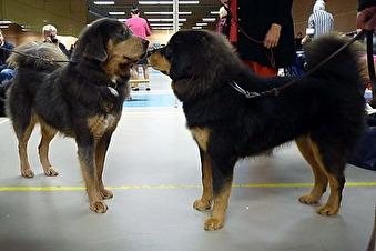 Daalia med sin dotter Humla då de träffades vid Tibethund