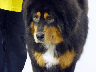 Tibethund 2017.