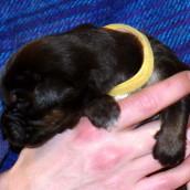 yellow 2 Bod Khyi Ser 13 days old P1010552