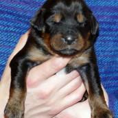 brown 1 Bod Khyi Ser 13 days old P1010573