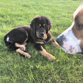 Bod Khyi Ser Gullan 3,5 månad med bästa kompisen Milo.