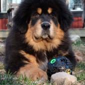 Humla puppy