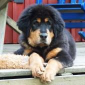 Bacchus puppy