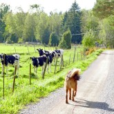 2019 09 19 Saffran and cows