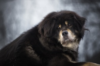Bod Khyi Dom Ursa pictured by Judith Vugt. Ursa soon 11 years old